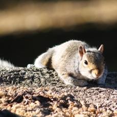 Close Squirrel