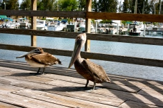 Pelican Boardwalk