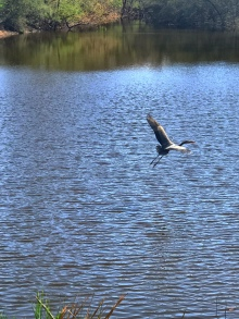 cranes, birds, photography, landscape photography, bird in flight